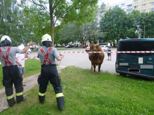 Býk se vydal na nedělní procházku, došel až na sídliště