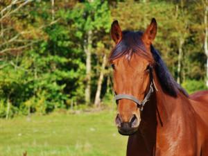 Divocí koně v Hradci Králové dostali větší pastvinu