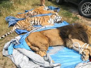 Biopark Štít poslal do zoo v Turecku zbytek tygrů a lvů