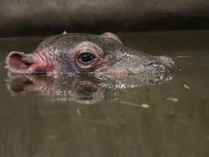V ZOO Dvůr Králové se po 29 letech narodilo mládě hrocha