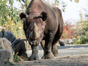 Nosorožcům ze Dvora Králové se ve Rwandě daří dobře, zvykají si na stravu i vysílačky v rozích