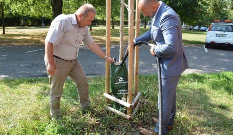 Vybrané hradecké stromy zavlažují vodní vaky, další budou následovat