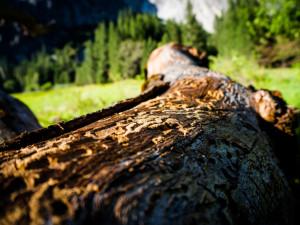 Přemnožený kůrovec může v Krkonoších ohrozit tisíce hektarů lesa