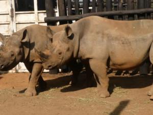 FOTO: Nosorožci zvládl náročnou cestu ze Dvora Králové až do Rwandy