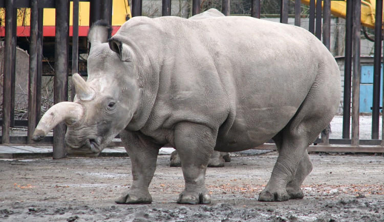 Další krok k záchraně: Vědcům se poprvé podařilo v laboratoři vytvořit embrya nosorožců bílých severních