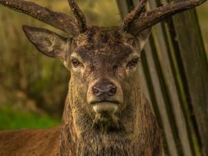 V Krkonoších začne od začátku prosince kvůli jelení zvěři platit omezení