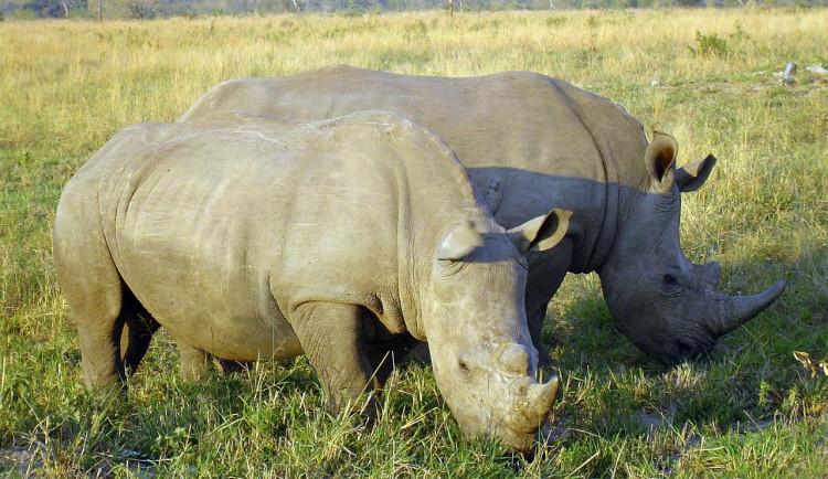 Část nosorožců ze Dvora byla ve Rwandě vypuštěna do volné přírody