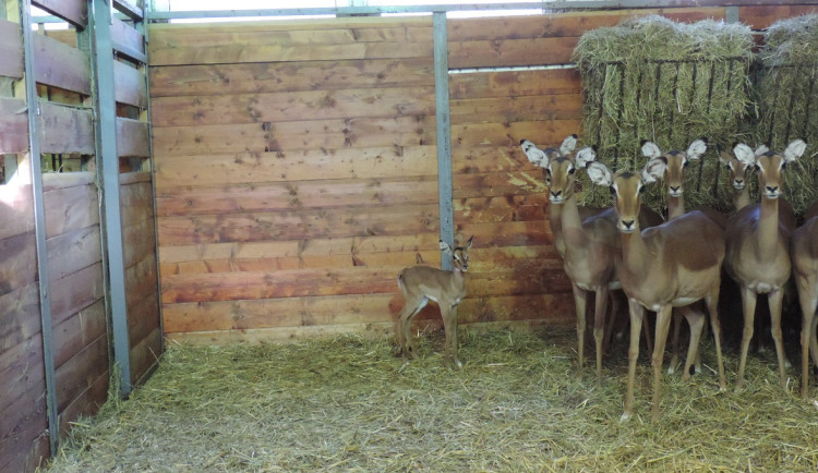 První mládě roku. V Safari parku ve Dvoře Králové se narodila impala