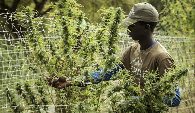 Muž v centru Hradce Králové pěstoval ve velkém marihuanu