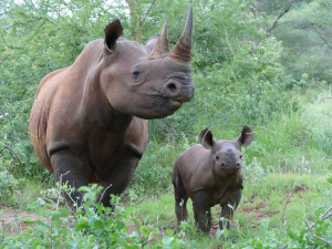 Dvorským nosorožcům převezeným do Tanzanie se narodilo čtvrté mládě