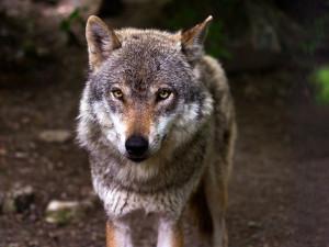 Mezi Krkonošemi a Orlickými horami žije až 20 vlků. Situace se vyostřuje