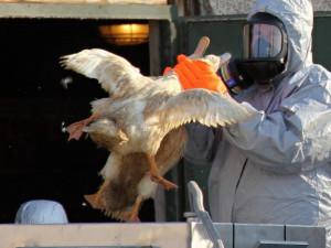 Na Pardubicku je potvrzená ptačí chřipka. Jde o druhé ohnisko v České republice
