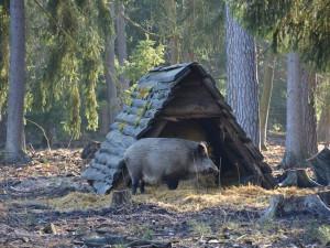 Divočáci Pepina a Bob z hradeckých městských lesů mají 9 selat