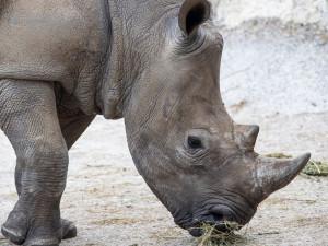 Dvorská zoo získala na posílení chovu nosorožce z Francie