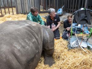 Podařilo se odebrat rekordní množství vajíček nosorožců. Safari Park je tak opět o trochu blíž k jejich záchraně