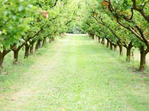 Jarní mrazy se podepsaly na úrodě ovoce, bude ho méně