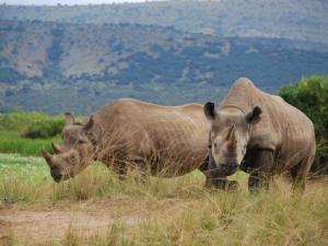 Dvojice nosorožců z královédvorské zoo už žije ve Rwandě samostatně
