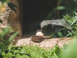 FOTO: Medojed a hyeny ze zoo ve Dvoře dostali pštrosí vejce, udolávali ho dlouhé desítky minut