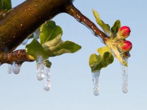 Vláda schválila pro ovocnáře vyšší kompenzace za loňské mrazy