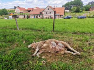 Po padesáti letech chovatel z Broumovska končí. Vlci mu zadávili poslední tři ovce