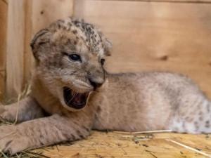Tři nová lvíčata v Safari Parku ve Dvoře Králové jsou holky. Z porodního boxu jsou už venku