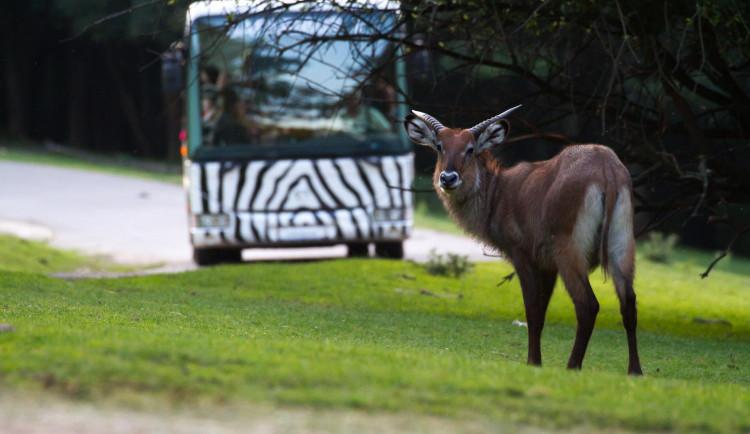 Africké safari je Evropským unikátem. Do konce prázdnin si ho mohou lidé prohlédnou za soumraku