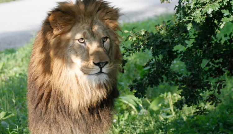 V rámci oslavy dne slonů a lvů nachystal Safari Park melounovou hostinu i sprchování slonů