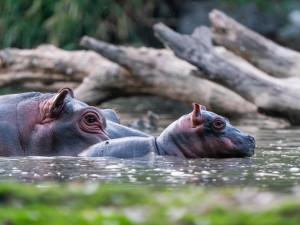 V Safari Parku ve Dvoře se rodí jako na běžícím pásu. Zahrada hlásí další přírůstek