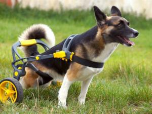 Česká firma vyrábí invalidní vozíky pro handicapované pejsky, připravuje vylepšený i pro lidi