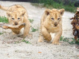 Tři malá lvíčata se dnes poprvé ukázala návštěvníkům. V zoologické zahradě nezůstanou