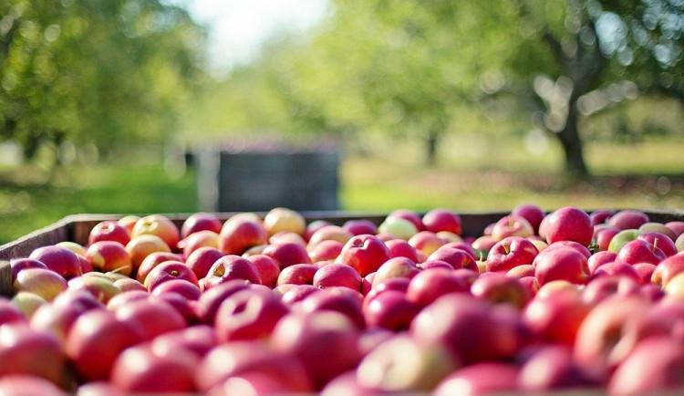 Cena jablek stoupla meziročně o skoro 70 procent. Nová sklizeň by ji měla snížit