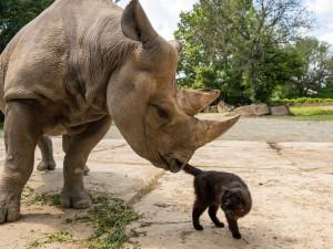 Safari Park získal na posílení chovu nosorožce z Německa. Před rokem zaútočil na auto ošetřovatelky