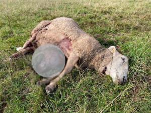 Na Broumovsku opět útočila smečka vlků, chovateli usmrtila deset kusů zvířat. Byla to jatka, říká