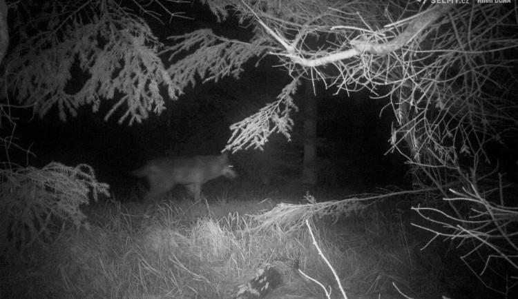 Fotopast v Orlických horách zachytila vlka. Je to poprvé v novodobé historii
