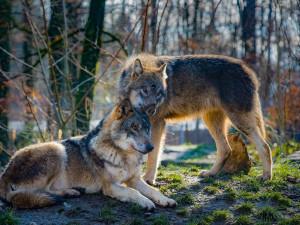 Velká smečka vlků zaútočila na stádo ovcí u Teplic nad Metují