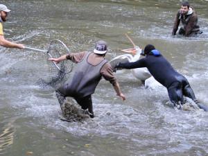 FOTO: Mezi stromy i ve vodě. Odchyt pelikánů dal ošetřovatelům zoologické zahrady opět zabrat