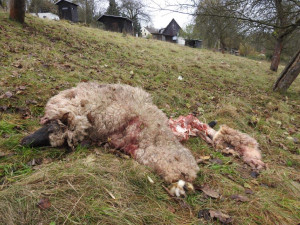 Vlci na Broumovsku útočili jen několik desítek metrů od rodinných domů