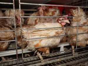 Senát schválil zákaz klecových chovů nosnic. Za týrání zvířat budou padat vyšší pokuty