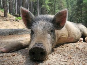 Pokud v lese najdete mrtvé zvíře, dejte vědět myslivcům. Kraj se připravuje na výskyt afrického moru prasat
