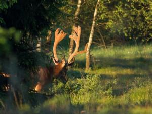 Kvůli jelenům omezí správa parku vstup do některých částí Krkonoš