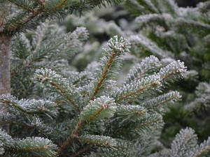 Hradec Králové připravuje prodej vánočních stromků. Kapry nově pořídí lidé přes internet