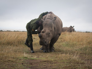 Vědcům ze Safari Parku se podařilo vytvořit dvě nová embrya severních bílých nosorožců