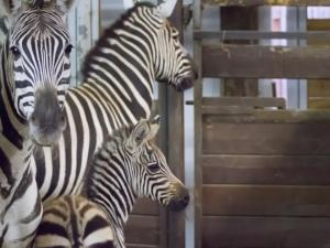 V Safari parku ve Dvoře Králové se narodilo mládě zebry Böhmovy. Zoo si přírůstkem připomíná Mezinárodní den zeber