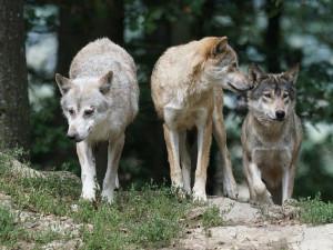 Vlkům se v Česku daří, počet jejich teritorií se zvýšil. Na Broumovsku trápí chovatele