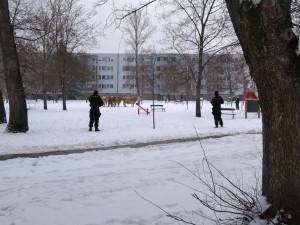 V Hradci Králové uteklo pět krav. Na sídlišti je naháněli policisté, jednu zastřelili