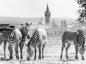 Safari Park ve Dvoře Králové hledá historické fotografie. Zahrada uspořádala soutěž