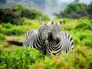 Safari Park ve Dvoře spojí síly se zahradou v Liberci. Společně budou zachraňovat zebry bezhřívé