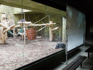 Šimpanze ze Safari Parku ve Dvoře spojil live stream se svými druhy ze zahrady v Brně