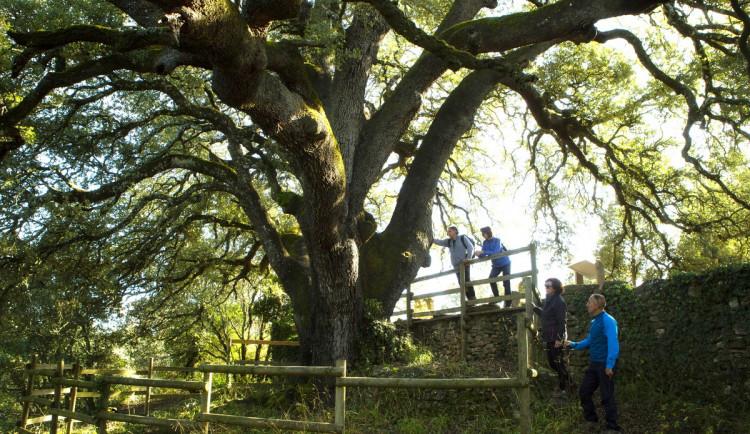 Jabloň u Lidmanů v anketě Evropský strom roku neobstála. Na prvním místě je tisíciletý dub ze Španělska