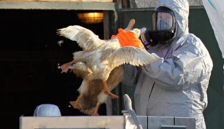 Dušení ptactva oxidem je projev krutosti, tvrdí spolek. Likviduje se tak drůbež s ptačí chřipkou